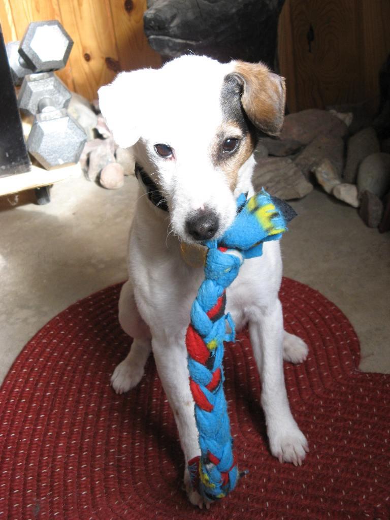 Reggie with his fleece tug.